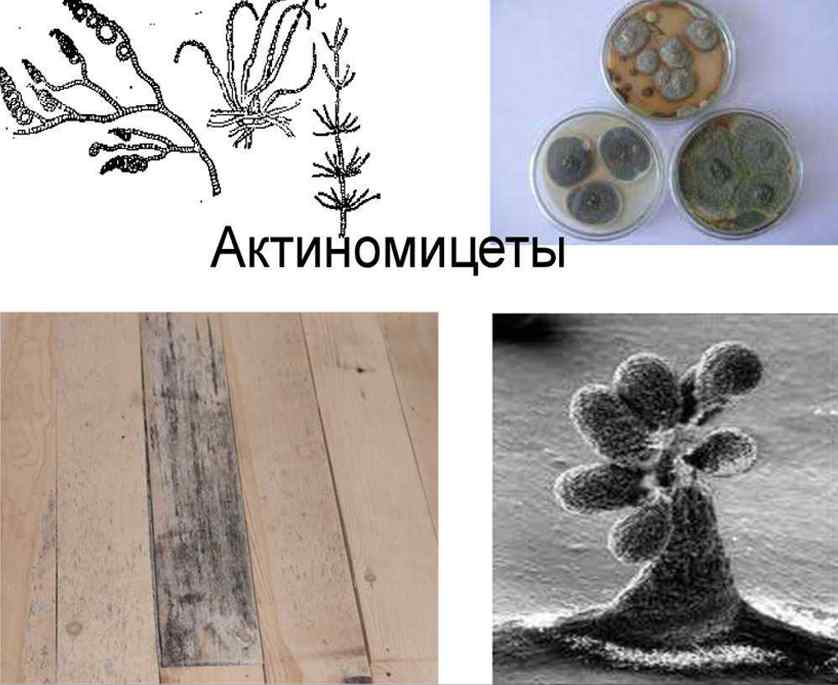 Актиномицеты на древесине