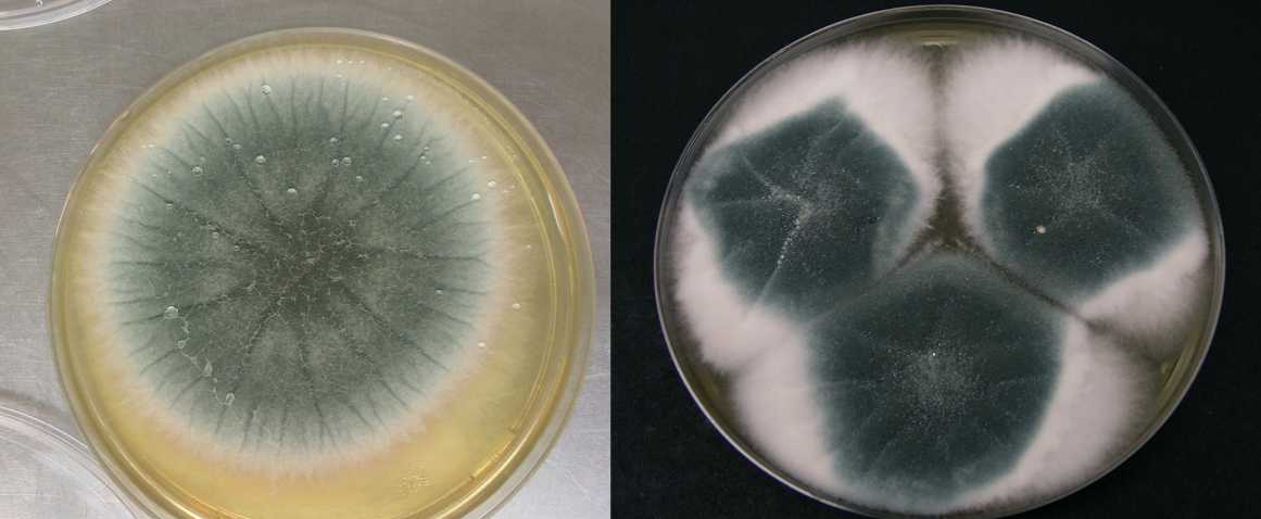 Аспергилл дымящий два вида