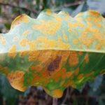 На листьях кофе грибок