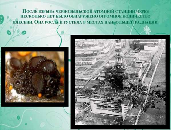 Чернобыль плесень