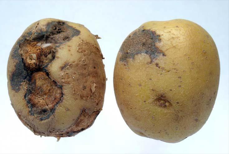 на картошке плесень