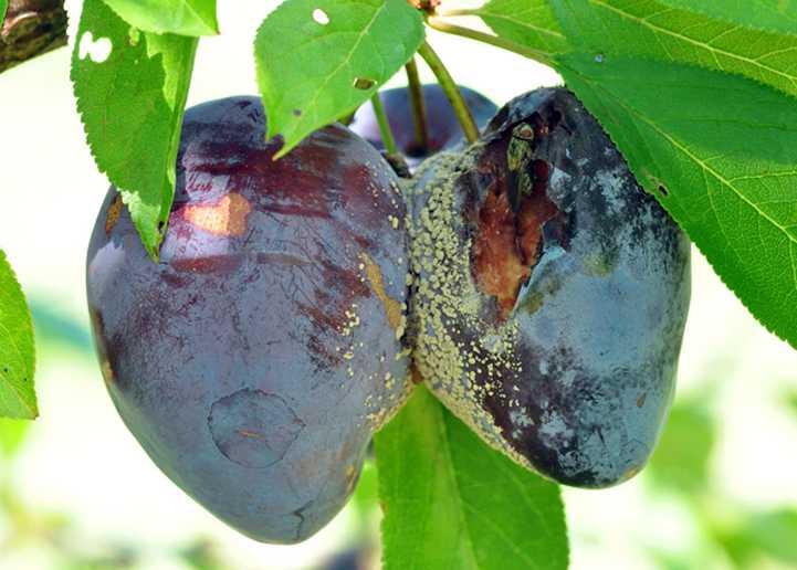 на плодах сливы плесень