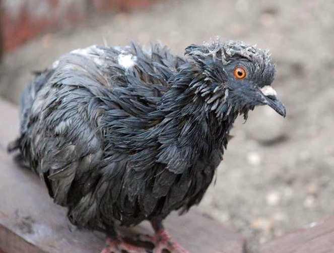 Аспергиллез у голубей